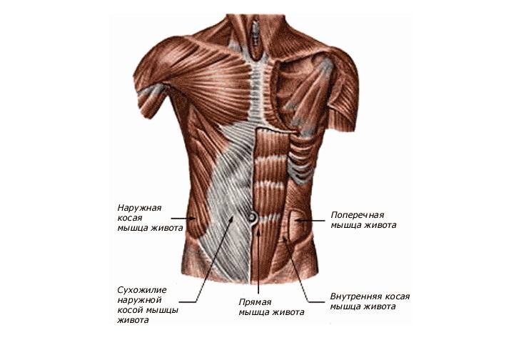 Названия мышц пресса человека