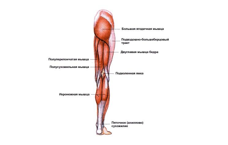 Названия мышц человека в картинках