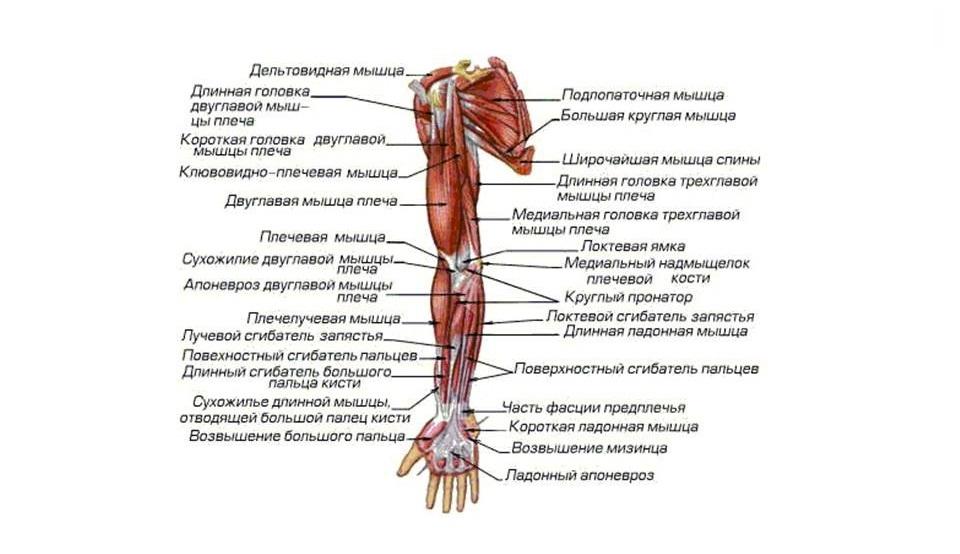 Названия мышц тела