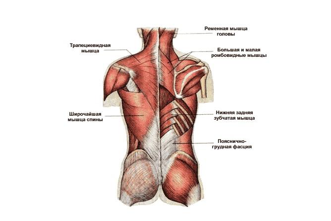 Как называются мышцы спины человека