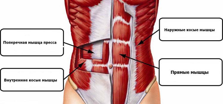 Расположение поперечной мышцы на теле